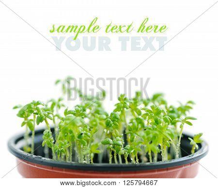 Fresh garden cress (LEPIDIUM SATIVUM). Close up