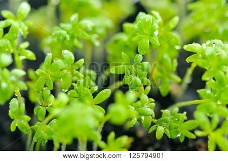 Close-up of Lepidium sativum or cress leaves of fresh sprouts growing