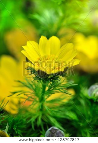Yellow flowers of adonis (Adonis vernalis). Close-up