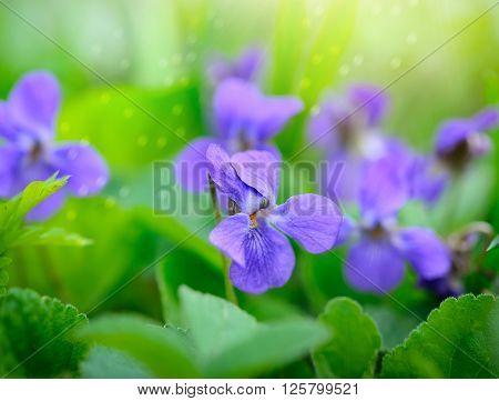 Viola Odorata (sweet Violet, Viola Odorata) Blooming In Spring Close-up. Nature Background