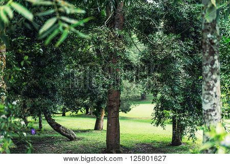 Eucalyptus Forest. Horizontal image of eucalyptus in nature