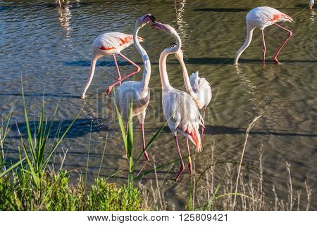 Love pink flamingos. Picturesque exotic birds gently kissing each other