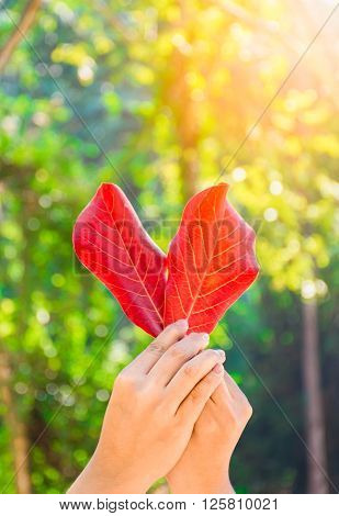 Hand held red leaf of heart shape. Love nature concept