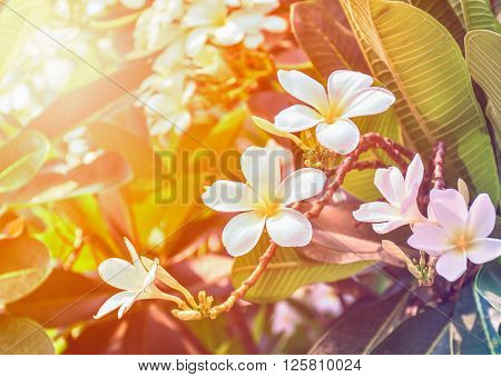 Plumeria flowers on the plumeria tree with beautiful colors and light in the summer