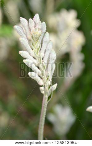 Closeup Of Kangaroo Paw Plant