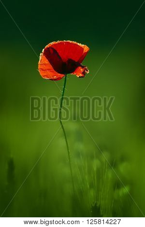 red poppy on green cereal field in summer