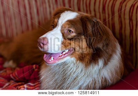 Australian Shepherd nice view of a dog with a close-up