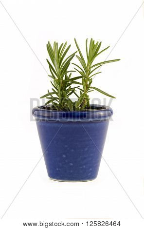 Rosemary herb plant in a blue ceramic garden plant pot to portray windowsill gardening Isolated on white