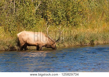 a bull elk in a river during the fall rut