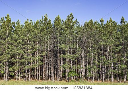 A thick evergreen forest stands on the edge of a meadow in Michigan.