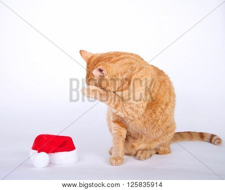 Orange Tabby Cat Sitting Next To Small Santa Hat Hiding Face With Paw.