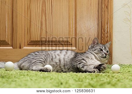 Curious cat playing with balls, cat playing with balls in natural background, domestic young cat, young playing cat