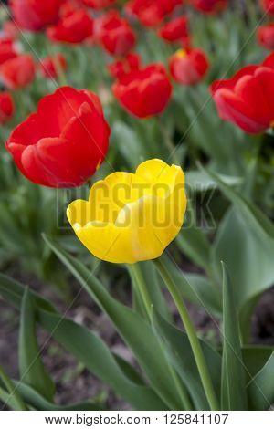 Beautiful Red And Yellow Tulips At The Garden
