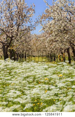 Colors of Apulia. Spring rural landscape: cherry blossoms on flowering meadow.Italy.Springtime.Row of cherry trees in bloom in a field with wild flowers.