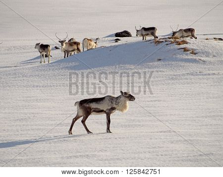 Icelandic deers getting together in the winter