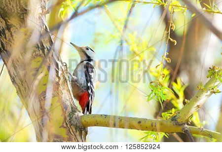 Great spotted woodpecker in the tree . ** Note: Visible grain at 100%, best at smaller sizes