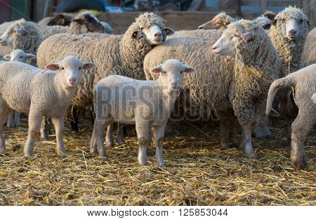 sheep within a mob turn to check out the photographer ** Note: Visible grain at 100%, best at smaller sizes