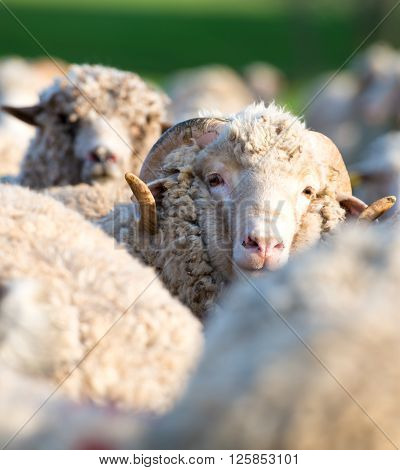 Concept of one sheep from herd looking at camera