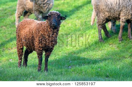 black sheep on the green land in spring