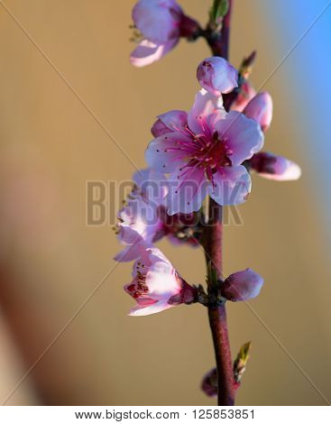 Branches with beautiful pink flowers (Peach) against the blue sky. Selective Focus. Peach blossom in the sunny day. ** Note: Shallow depth of field
