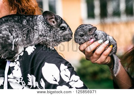 Kissing of Mama and Baby Chinchilla in Front View.  sitting on the shoulder