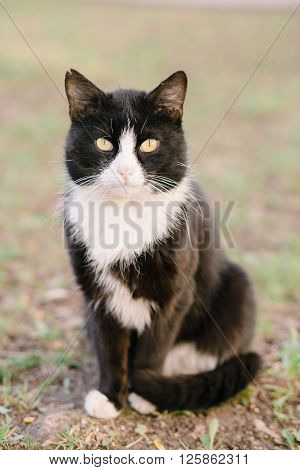Beautiful black and white calm cat sitting on grass and looking at camera