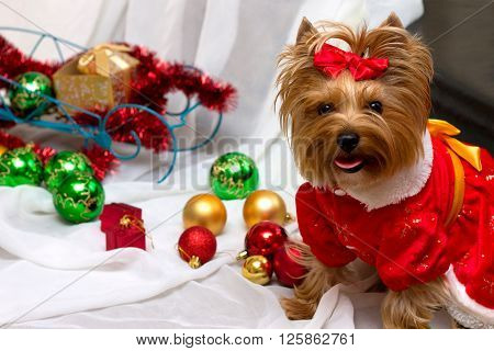 Small cute funny dog in Santa clothes with Christmas toys