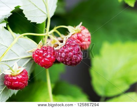 Raspberry On Branch In The Garden Background Blur Selective Focus