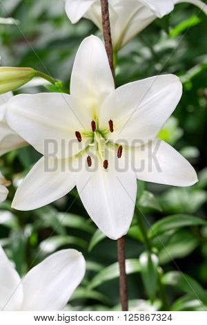 Beautiful Flowers Of White Lilies Background Blur Selective Focus