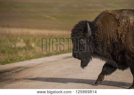 Bison buffalo in natural open wild plains setting