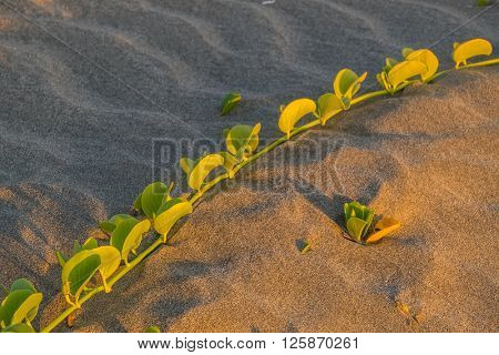 Goats foot creeper on beach on shore of Red Sea, Egypt, at sunset