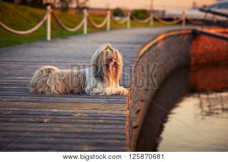 Shih tzu dog lying and looking on water at sunset light.