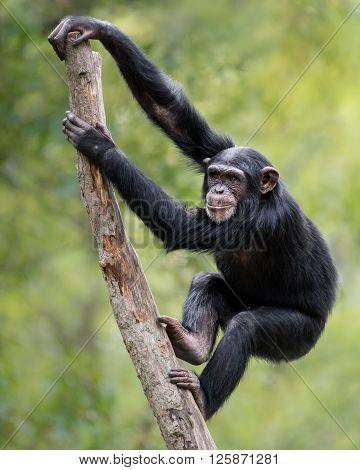 Chimpanzee Xix