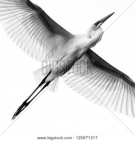 Great Egret Ii
