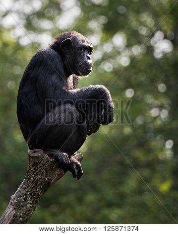 Chimpanzee Xviii