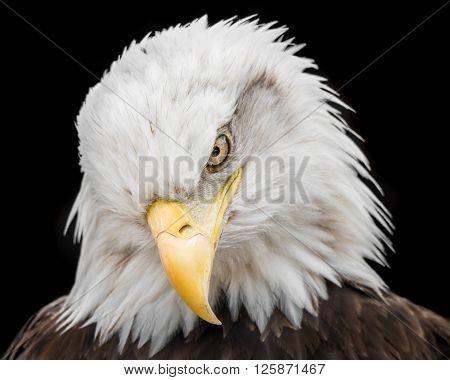 Bald Eagle Ix