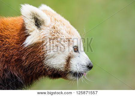 Red Panda Xviii