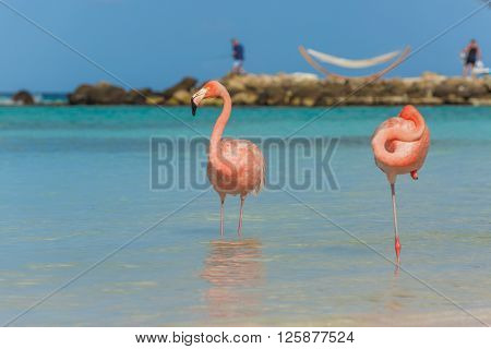 Flamingos on the Aruba beach. Flamingo beach