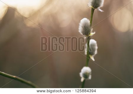 pussy-willow branches in spring, shallow focus closeup photo