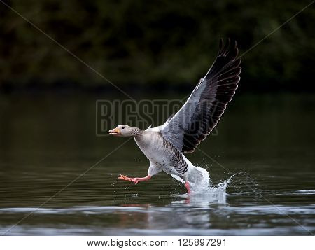 Greylag goose (Anser anser) running on water in its habitat