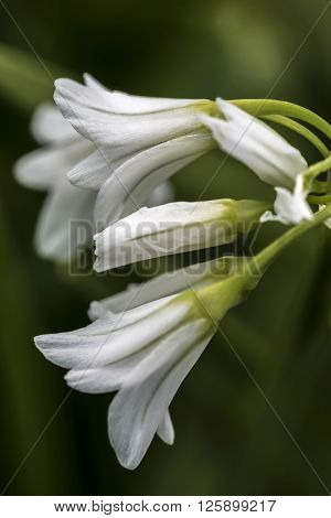 Close up of a three cornered leek flower