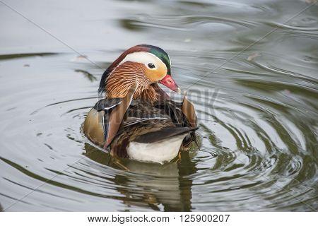 Vibrant mandarin duck swimming on a lake