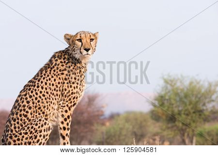 Cheetah Sitting On High Ground