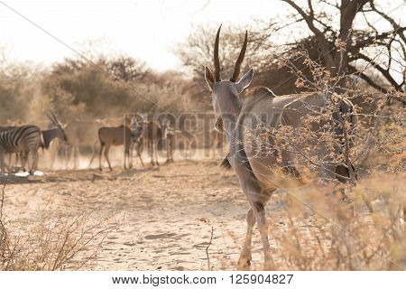 Eland Walking To Waterhole