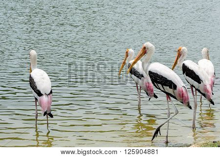 Yellow-billed Stork With Copy Space