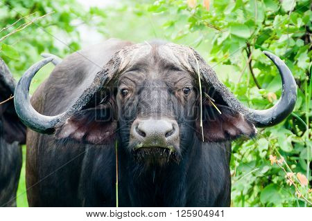 Close up of a wild African Buffalo