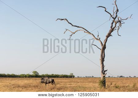 Blue Wildebeast And Tree