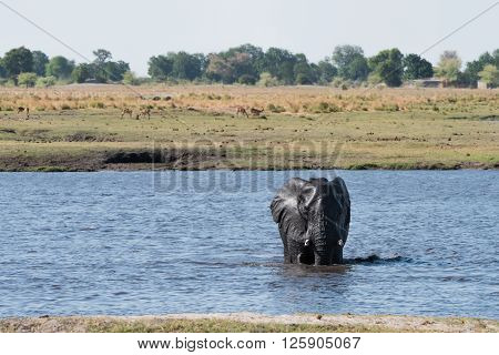 Elephant Water Crossing