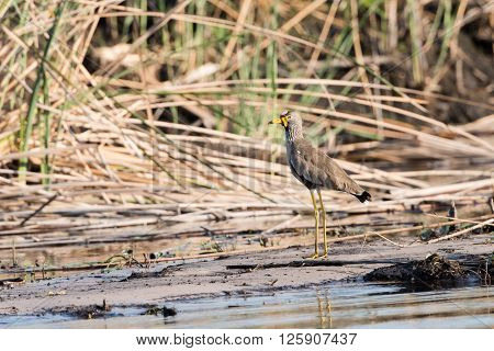 African Wattled Lapwing By River