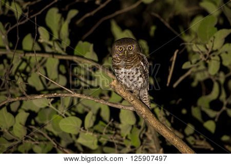 African Barred Owlet At Night
